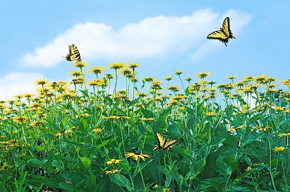 Butterflies in a Field of Sun Flowers - Photo courtesy of ©iStockphoto.com/diane39, Image #473728