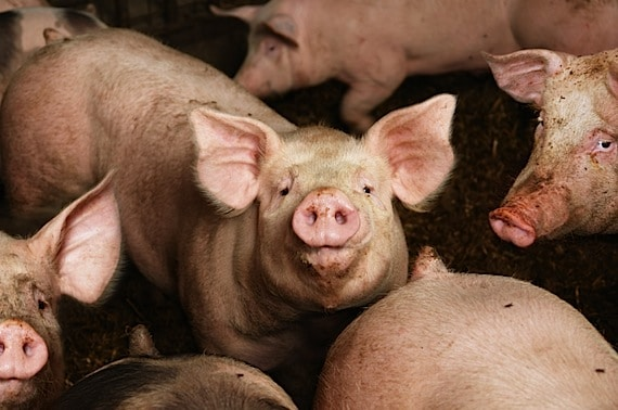 Pigs in a Pig Pen - Photo courtesy of ©iStockphoto.com/narvikk, Image #12327217