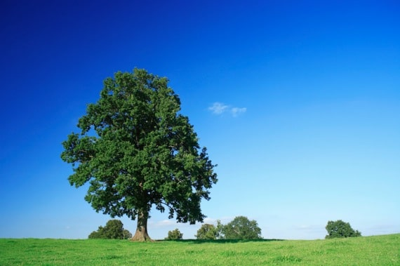 Solitary Pin Oak Tree - Photo courtesy of ©iStockphoto.com/AVTG, Image #2915208
