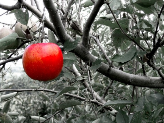 An Isolated Apple Hanging on a Tree - Photo courtesy of ©iStockphoto.com/dsteller, Image #299929